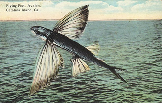8f82a424 California flying fish - The California flying fish, Cheilopogon  pinnatibarbatus californicus, is a subspecies of Pacific flying fish.